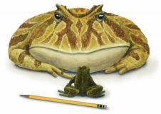 Giant prehistoric frog