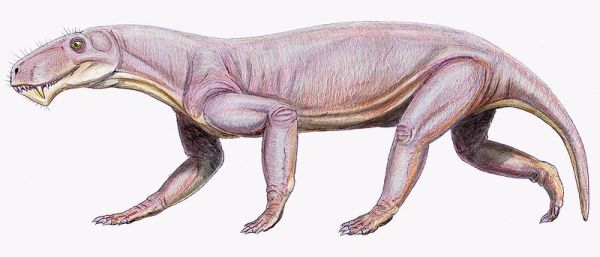 Lycaenops2