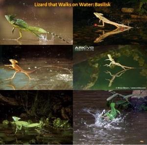 lizard walks on water